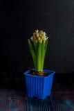 De mooie lente bloeit hyacint Stock Afbeeldingen