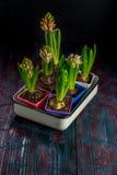 De mooie lente bloeit hyacint Royalty-vrije Stock Fotografie