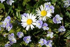 De mooie lente bloeit twee kamilles Stock Afbeeldingen