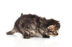 De mooie leuke 20 dagen oude katje jacht Stock Foto's