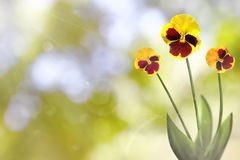 De mooie levende vittrock viooltjes met leeg op linkerzijde op aard gaat weg en vertakt zich bokeh achtergrond Bloemen de lente o Stock Afbeeldingen