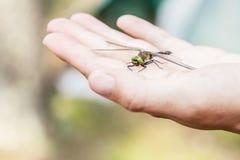 De mooie libel met beschadigd de vleugel zit op menselijk van hem Royalty-vrije Stock Fotografie