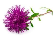 De mooie lilac aster van de bloemnaald Stock Afbeeldingen
