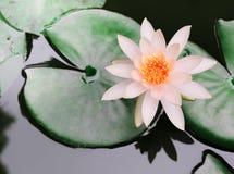 De mooie lotusbloem Royalty-vrije Stock Foto