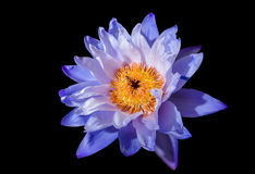De mooie lotusbloembloem is het symbool van Boedha Stock Foto