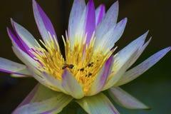 De mooie lotusbloembloem is het symbool van Boedha, Thailand royalty-vrije stock fotografie