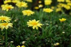 De mooie madeliefje gele bloemen in de mooie tuin op zonnige dag stock afbeeldingen