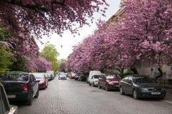 De mooie magnoliaboom is tot bloei komend in park in de lentetijd De foto toont het centrum van de Stad van Uzhgorod tijdens saku stock fotografie