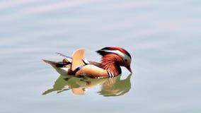 De mooie Mandarin Eend die in het westenmeer, vissen en voeten met zwemvliezen van mandarin eend zwemmen kan in schoon water, 4k- stock video