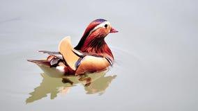 De mooie Mandarin Eend die in het westenmeer, vissen en voeten met zwemvliezen van mandarin eend zwemmen kan in schoon water word stock footage