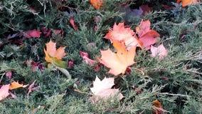 De mooie multi-colored bladeren liggen op een groene struik Stock Foto