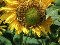 De mooie natuurlijk fotografie van de zonnebloemlevensstijl Royalty-vrije Stock Foto