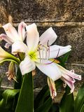 De mooie natuurlijke stijl Thailand van de frangipanibloem Stock Afbeelding