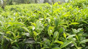 De mooie natuurlijke thee plant deze foto van Sri Lanka stock foto's
