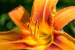 De mooie oranje Daylili-bloem van Leliesselectie, sluit omhoog geschoten Stock Afbeelding