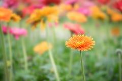De mooie oranje, roze en gele bloem van het gerberamadeliefje in GA Stock Foto's