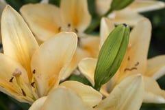De mooie oranjegele leliesbloemen sluiten omhoog royalty-vrije stock foto's