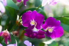 De mooie Orchideeënbloemen Violet tropisch Thailand zijn bloeiend Stock Afbeelding