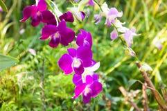 De mooie Orchideeënbloemen Violet tropisch Thailand zijn bloeiend Stock Foto