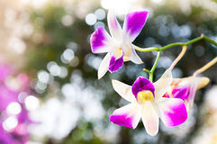 De mooie Orchideeënbloemen Violet tropisch Thailand zijn bloeiend in tuin Stock Fotografie