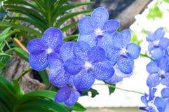 De mooie orchidee bloeit blauwe Hybride Vanda stock foto