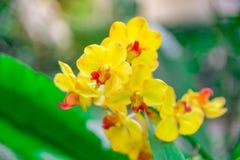 De mooie orchidee geel in tuin, kan gebruikt voor groetkaarten Stock Fotografie