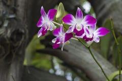 De mooie orchidee groeit in wildernissen van Thailand royalty-vrije stock fotografie