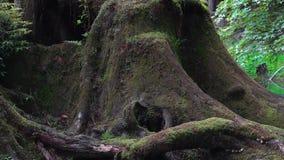 De mooie oude bomen van het cipresdrijfhout die met mos op het Toneelgebied van Alishan in Taiwan worden behandeld stock video