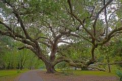 De mooie oude Eiken Bomen zijn verdraaid met leeftijd stock foto