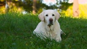 De mooie oude hogere hond die van Labrador in de weide liggen stock footage