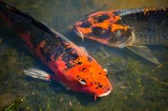 De mooie paar gemengde oranje-Zwarte vissen van de kleuren buitensporige karper in ondiep watervijver royalty-vrije stock afbeeldingen
