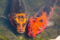 De mooie paar gemengde oranje-Zwarte vissen van de kleuren buitensporige karper in ondiep watervijver royalty-vrije stock foto
