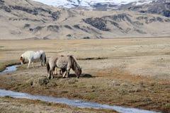 De mooie paarden van IJsland in IJsland Stock Foto