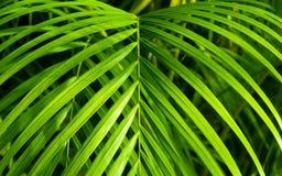 De mooie Palm van Neanthe Bella Royalty-vrije Stock Afbeeldingen