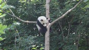 De mooie panda is in de boom stock video