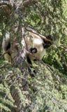 de mooie panda draagt binnen speel op bloemen en takken van bomen Royalty-vrije Stock Foto's