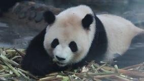 De mooie panda eet verse bamboespruiten stock footage