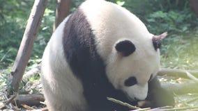 De mooie panda eet verse bamboespruiten stock video