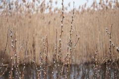 De mooie pluizige wilgentakjes bloeiden in de vroege lente in April tegen de achtergrond van water stock foto
