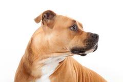 De mooie profiel Amerikaanse staffordshire hond isoalted stock fotografie