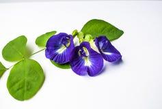 De mooie Purpere Bloem, sluit omhoog Vlinder Pea Flower op Witte Achtergrond royalty-vrije stock afbeeldingen