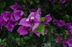 De mooie purpere bloemen, sluiten omhoog van grote kleuren stock afbeelding
