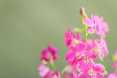 De mooie purpere bloemen van de dendrobiumorchidee op donkere backgroun Stock Afbeeldingen
