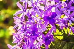 De mooie Purpere bloemen van de kroonwijnstok royalty-vrije stock afbeeldingen