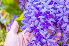 De mooie Purpere bloemen van de kroonwijnstok stock fotografie