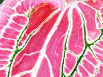 De mooie purpere groene en witte bladeren van de caladiuminstallatie Royalty-vrije Stock Foto