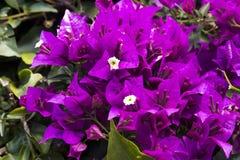 De mooie purpere, roze en gele bloemen van de bougainvillea planten op een achtergrond van bladeren Altijdgroene krullende struik royalty-vrije stock foto