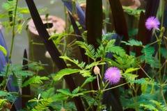 De mooie purpere zonnestraal bloeit dichtbij een vijver in Bangkok, Thailand stock fotografie