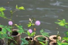 De mooie purpere zonnestraal bloeit dichtbij een vijver in Bangkok, Thailand stock foto's