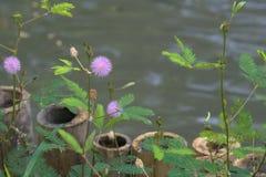 De mooie purpere zonnestraal bloeit dichtbij een vijver in Bangkok, Thailand stock afbeeldingen
